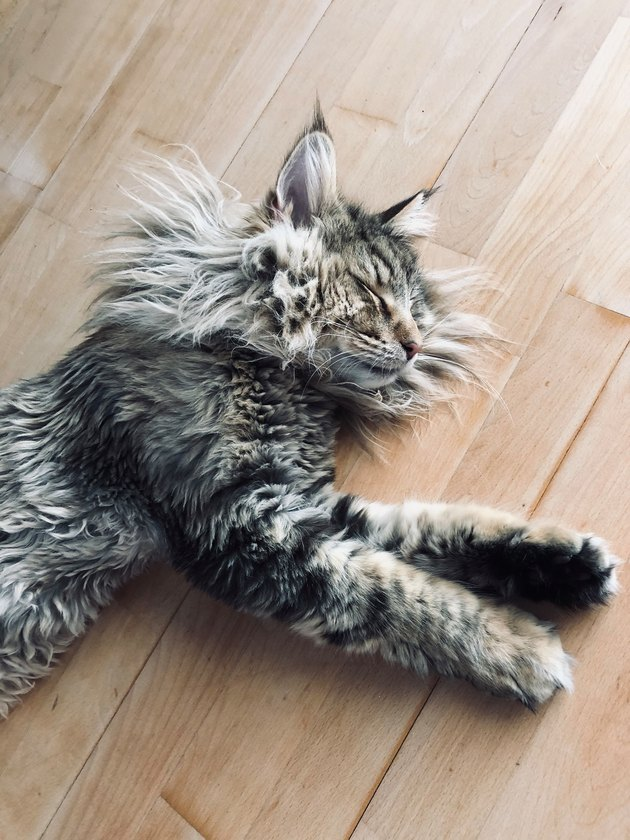 maine coon cat with fluffy sideburns