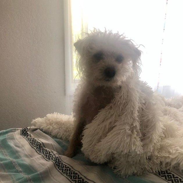 sleepy dog with blanket