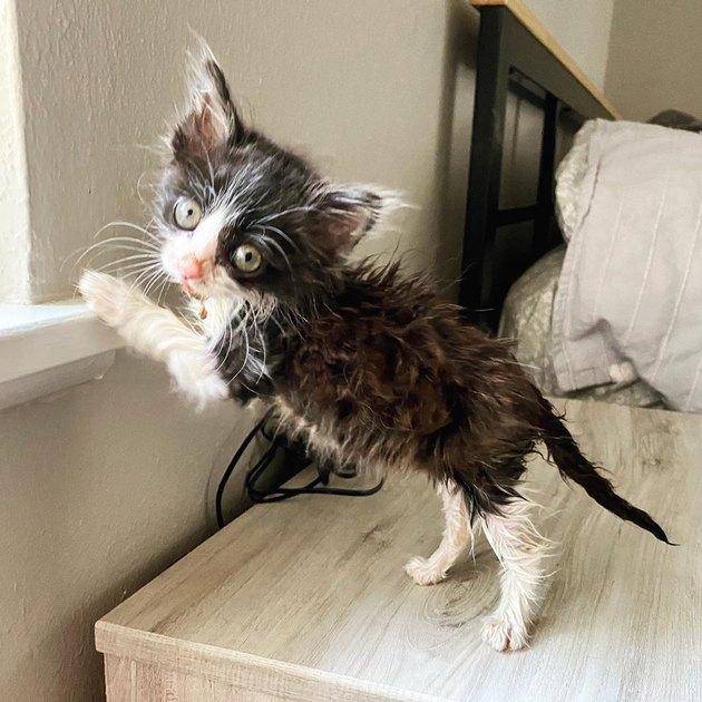 kitten with disheveled coat