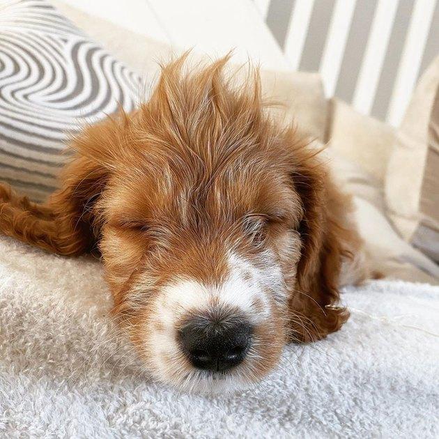 sleeping dog with hair spikes