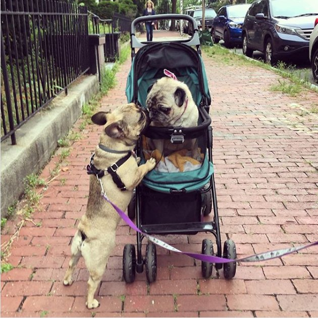 one dog jealous of another dog who is in a stroller