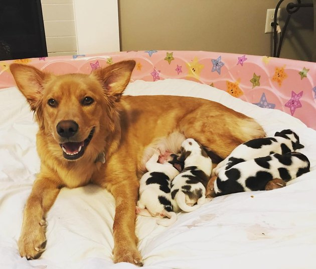 Confused Golden Retriever Gives Birth to Litter of Baby Cow Puppies