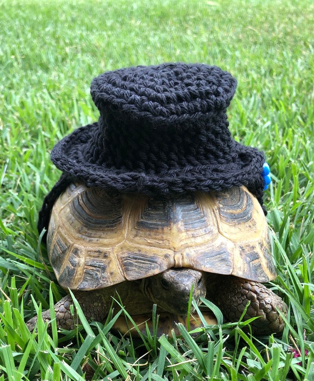 tortoise in crocheted top hat