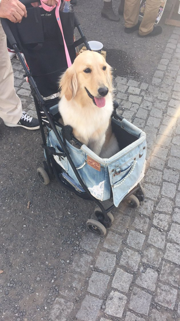dog with long ears in a stroller