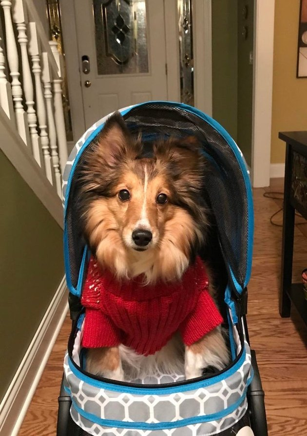 arthur the dog in a stroller