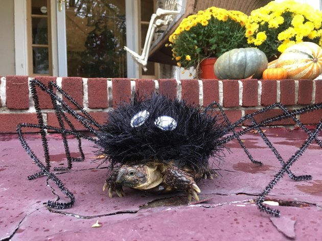 tortoise in spider costume