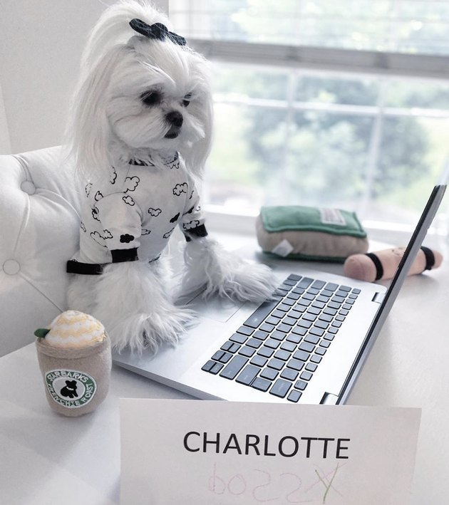 little dog with nameplate working on laptop