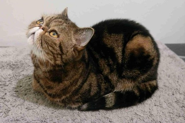 cat loaf looking up