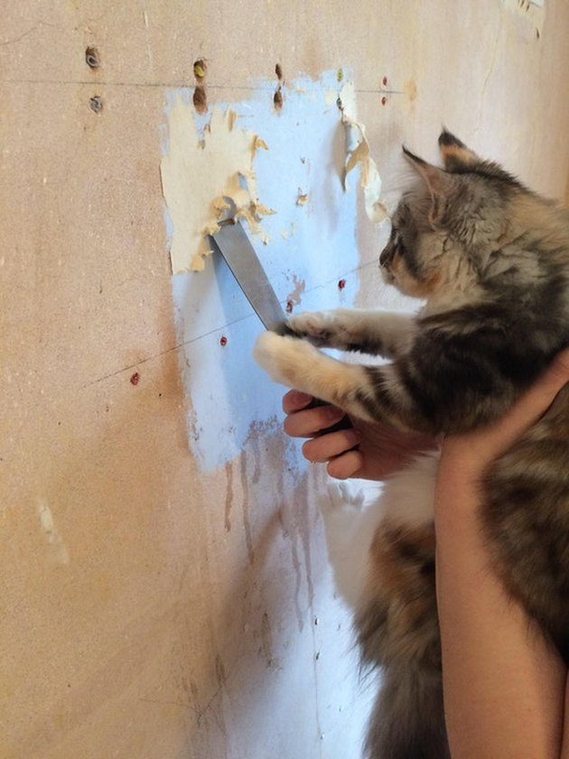 Cat scraping paint off a wall with palette knife.