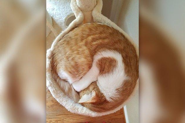 cinnamon roll cat loaf