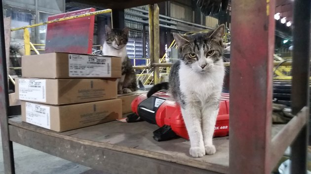 Cats on factory floor.