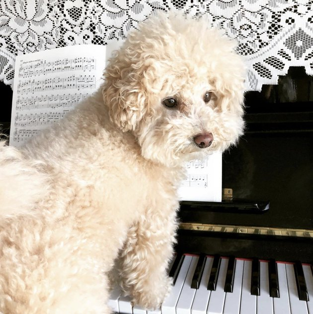 poodle with paws on piano keys