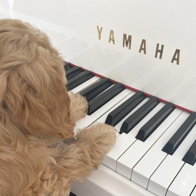 dog with paws on yamaha piano keys