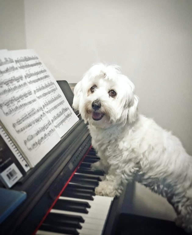 maltese with paws on piano keys