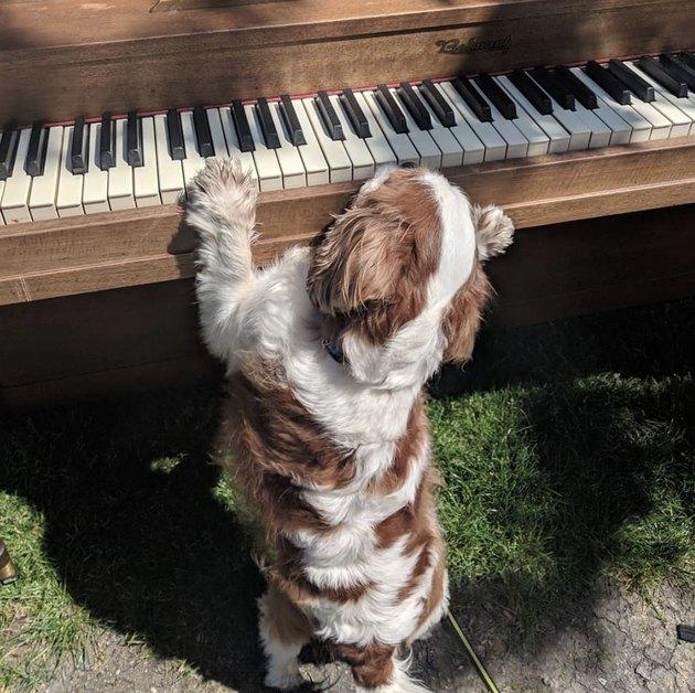 dog struggling to reach piano keys