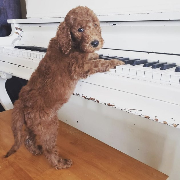 dog with paws on piano keys