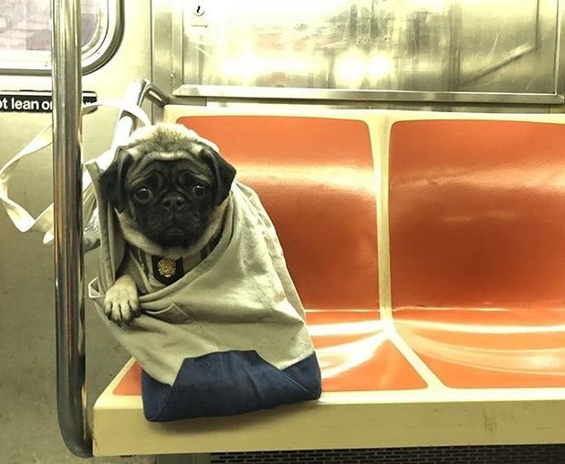 pug in bag on NYC train