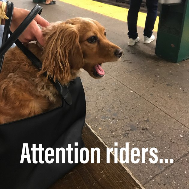 dog in bag reacts angrily when NYC train is late