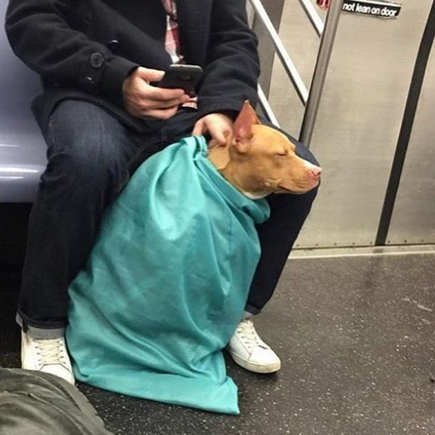 dog in laundry bag on train