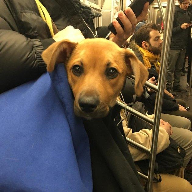 smol dog in blue bag on NYC train