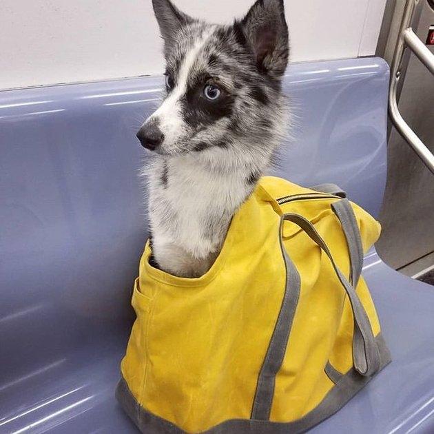 Fox-ish type dog in bag on NYC MTA