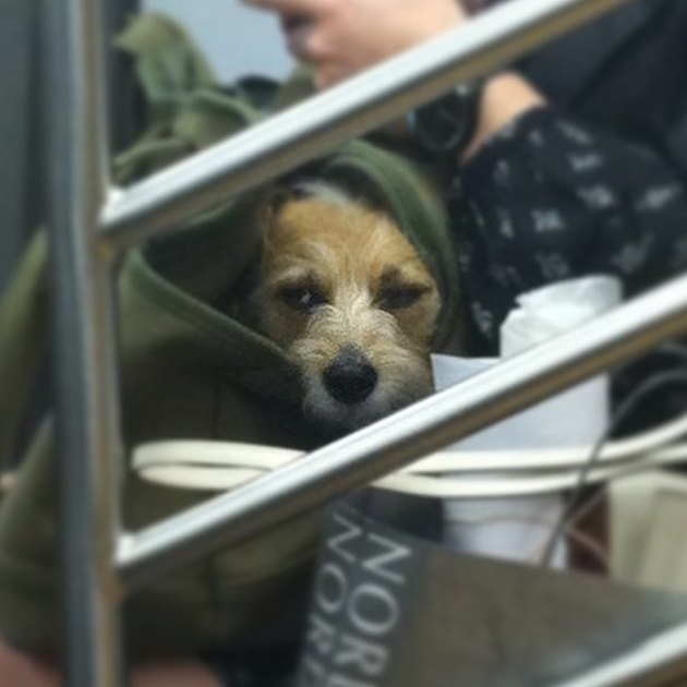 grumpy dog wonders where it all went wrong on NYC train