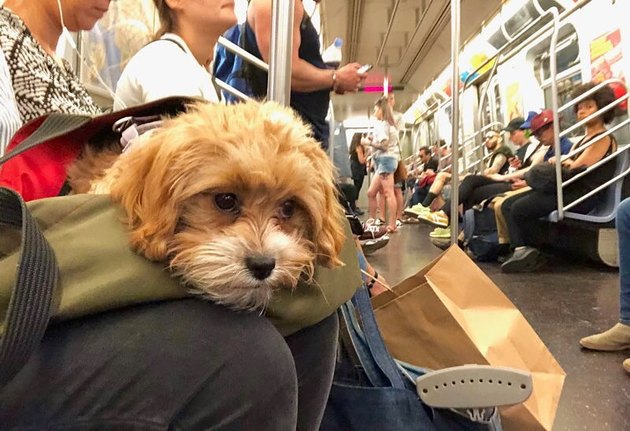 Dogs in bags on New York City trains