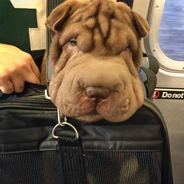 dog with big wrinkle energy in bag on NYC MTA train
