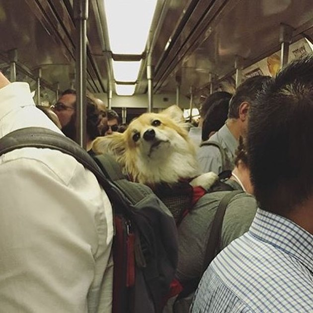 dog in backpack on NYC train