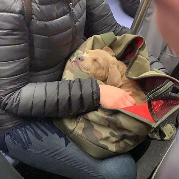 sleeping puppy on NYC train line