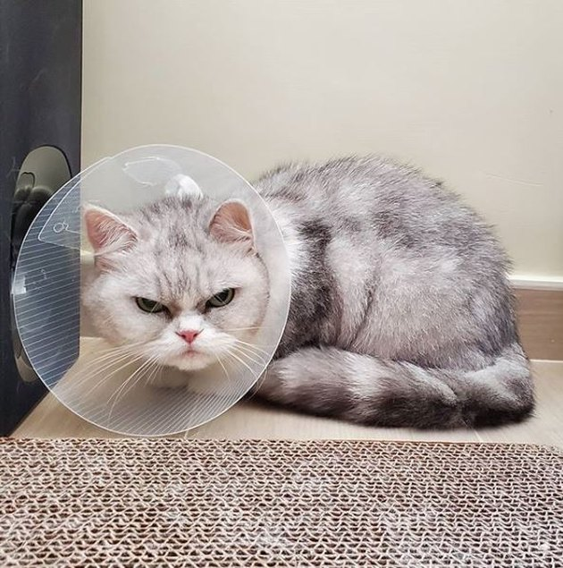 angry cat wearing cone
