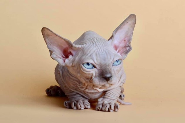 hairless cat looking angry