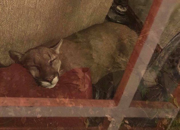Woman uses telepathy to mind meld with cougar sleeping in her house