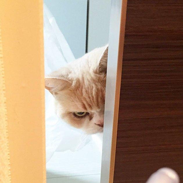 cat peeking around a corner looking angry