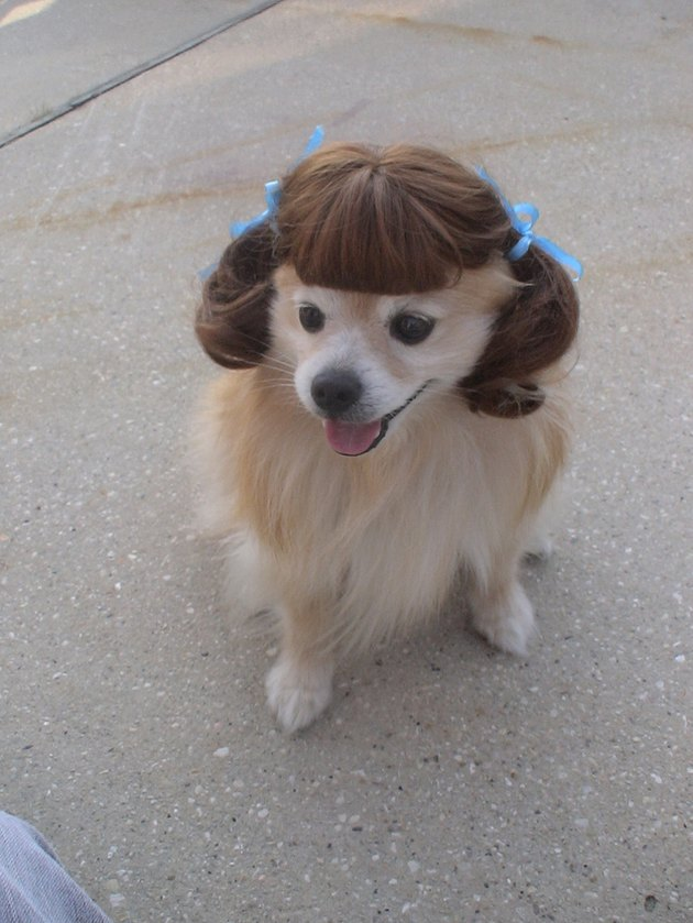 Cute dog in wig that has pignails