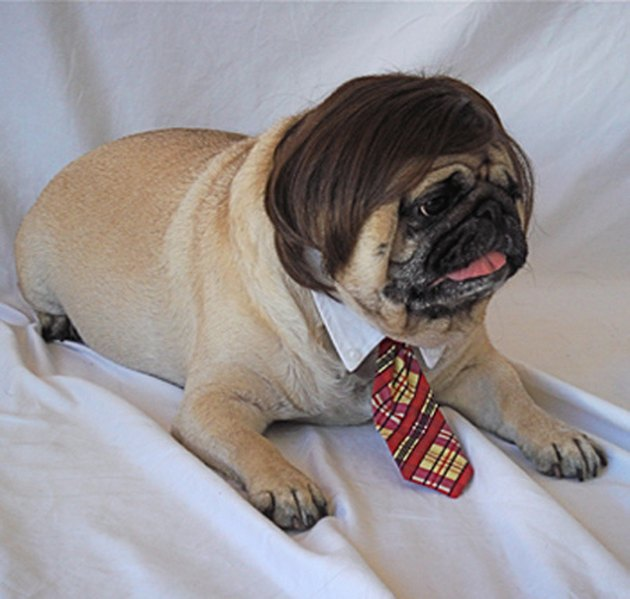 Dog in a tie and a funny man wig