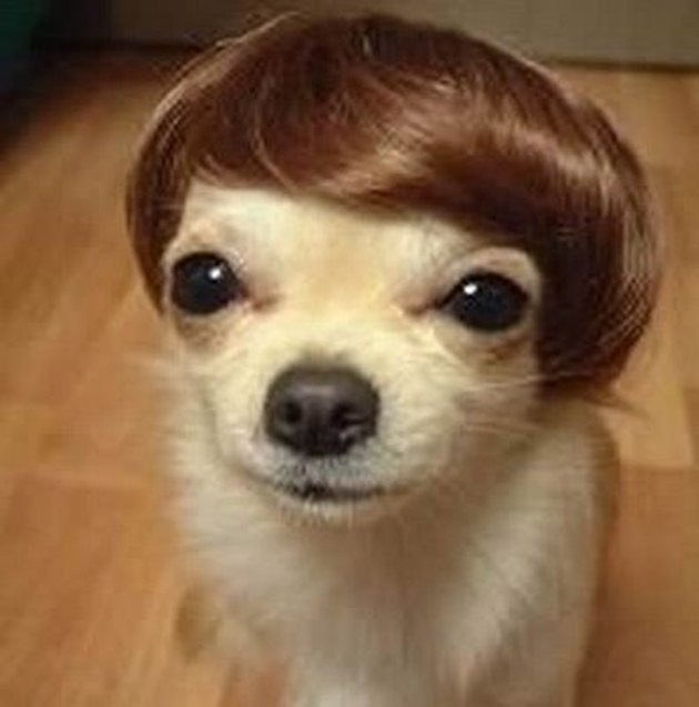 Dog in a short wig