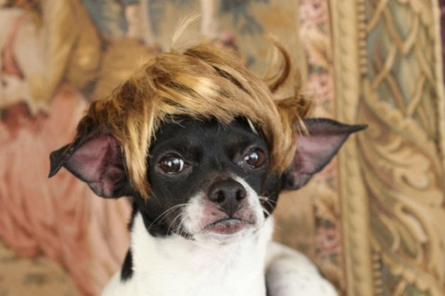 Dog with blonde wig