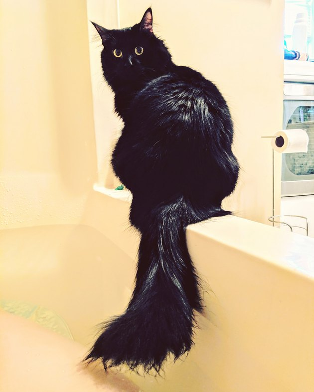 Cat sitting next to a bathtub with its tail in the water.