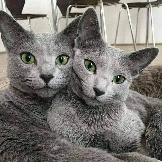 gray cats with striking green eyes