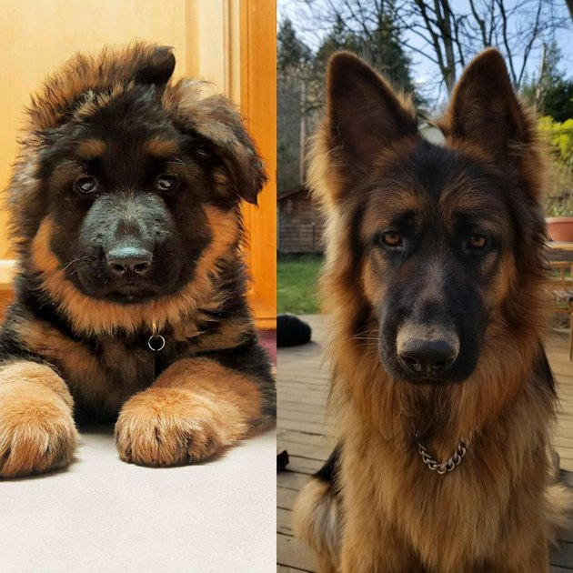 Side-by-side photos of dog as a puppy and an adult.