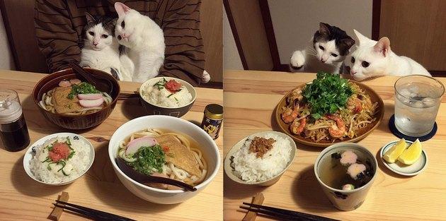cats stare at human food