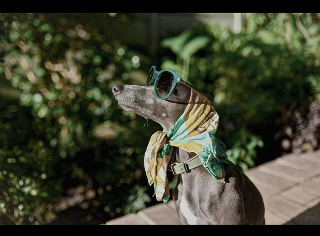 dog in scarf and green sunglasses