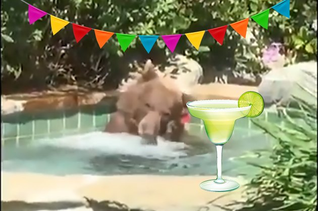 bear drinks a margarita