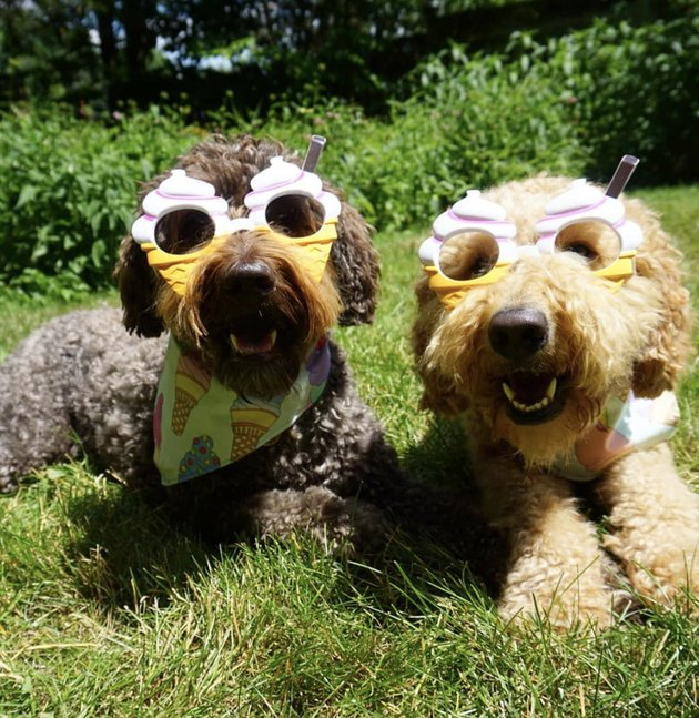 two dogs in ice cream shaped sunglasses