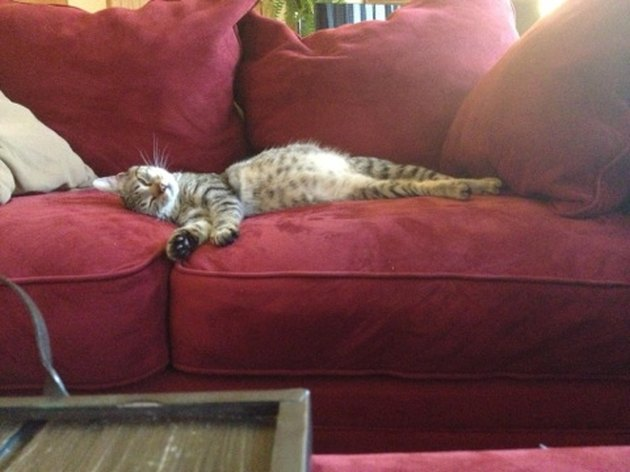 Cute pregnant cat alseep on couch