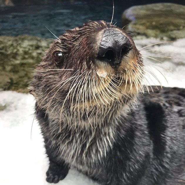 otter with lots of whiskers