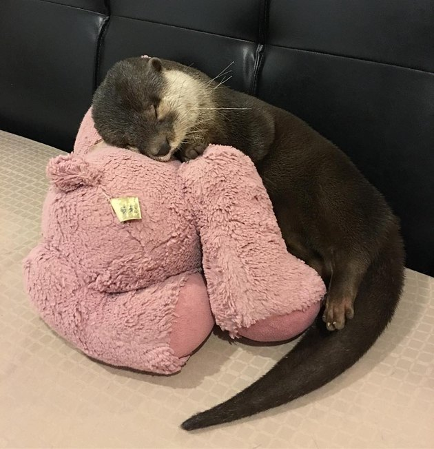 otter pup sleeping with a stuffed animal