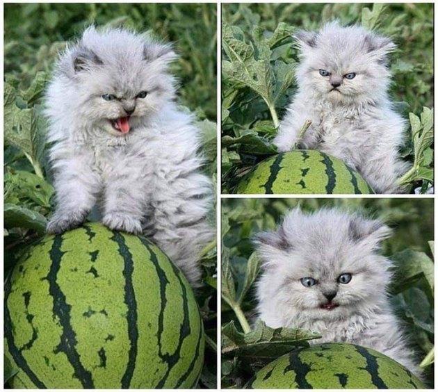 Grumpy kitten posing on watermelon