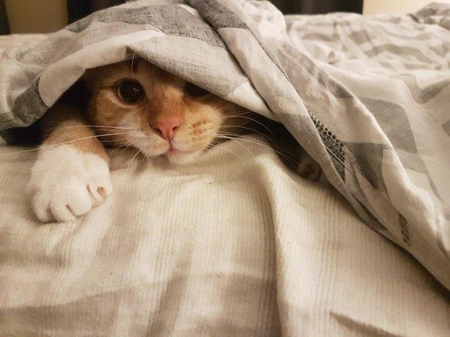 Cat under bedcovers